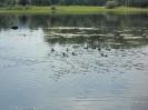 Утки на Ангаре